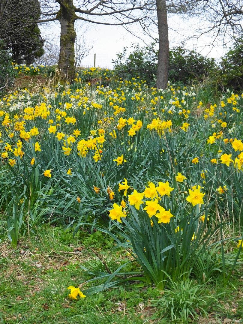 Daffodils in the Drive