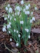 Snowdrops, Walled Garden