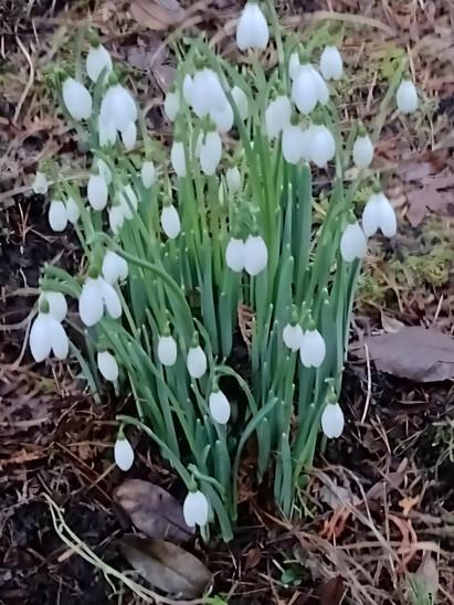 Snowdrops, Walled Garden
