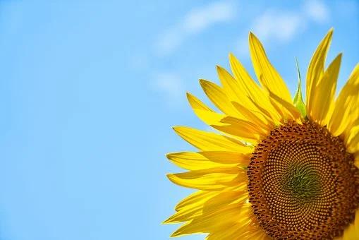 sunflower-3616249__340.webp