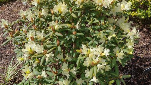 Lemon Rhodedendron