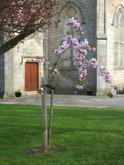 Bicentenary Tree in bloom