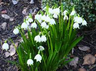 Snowdrops in Walled Garden