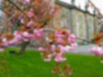 Kilsyth Burns & Old parish church. Tree