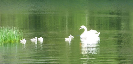 Swan Family 31 May 2021