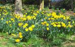 Daffodils at Colzium