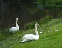 Auchinstarry Swans