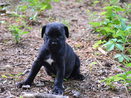 Alpha x Angel - 2 Males available