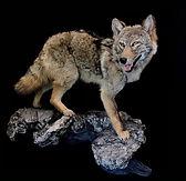 coyote 8.jpg