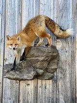 fox 7.jpg