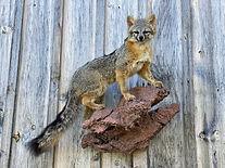 gray fox 2.jpg