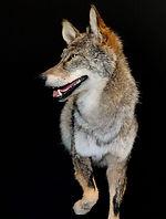 coyote 7.jpg