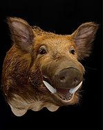 boar 3.JPG