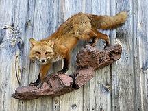 red fox 2.jpg