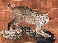bobcat 2.JPEG