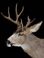 mule deer 2.jpg