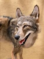 coyote 9.jpg