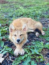 coyote 12.jpg