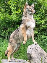 coyote 6.JPEG