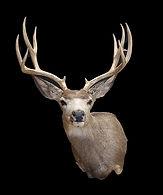 mule deer 4.jpg