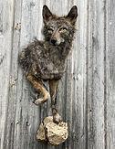 coyote 10.JPEG