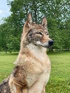 coyote 11.jpg