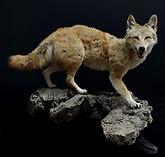 coyote 4.JPG