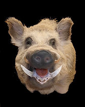 boar 4.jpg