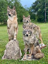 coyotes .jpg