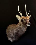 sika deer.jpg