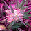 Thumbnail: May Flowers (3.5g)