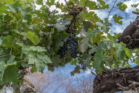 Icicle Ridge Winery Grape Vine_.jpg