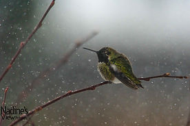 Humming Bird in Snow 9_.jpg