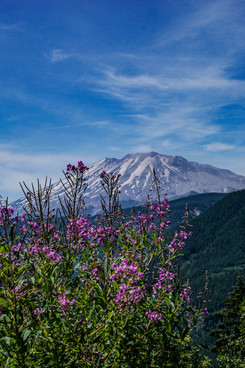 Mount St. Helens With Purple flowers_.j