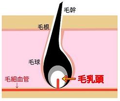 毛の構造.png