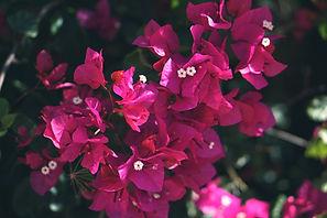 Canva - Pink Bougainvillea Flower.jpg