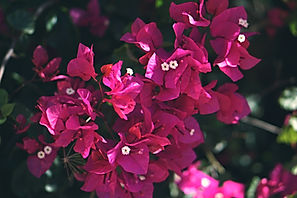 Canva - Pink Bougainvillea Flower.jpg