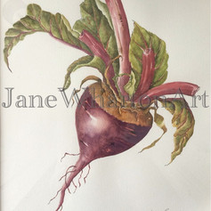 Watercolour Beetroot