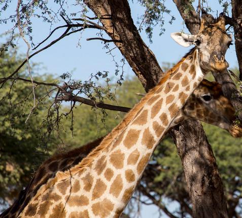 Linkwasha Giraffe