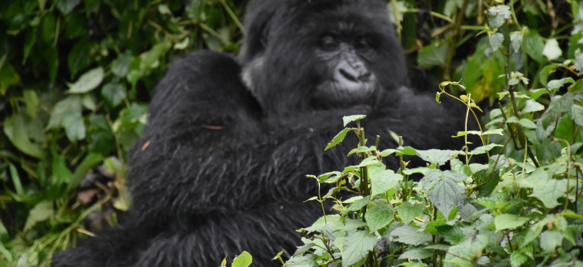 Rwanda, Volcanoes National Park Gorilla trek gorilla in the mist