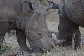 Rhinos in Zambia