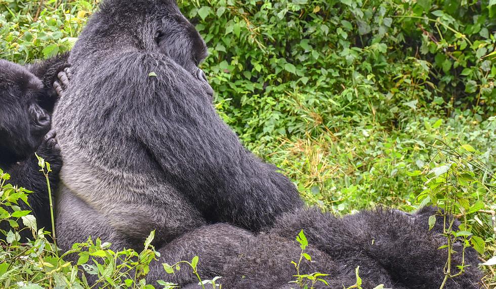 Rwanda, Volcanoes National Park Gorilla trek, Silverback