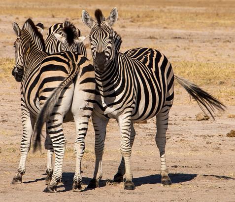 Zimbabwe Linkwasha Zebra