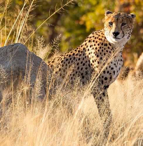 Zimbabwe Linkwasha Cheetah