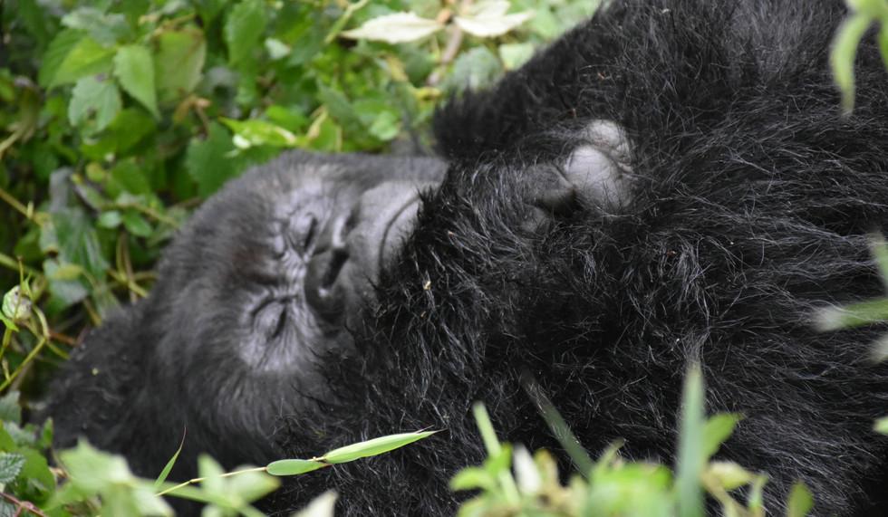 Rwanda, Volcanoes National Park Gorilla trek