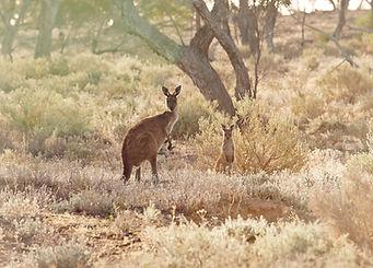 Kangaroos joey
