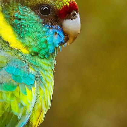 Ringneck Parrot Australia