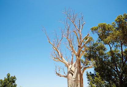 baobab perth