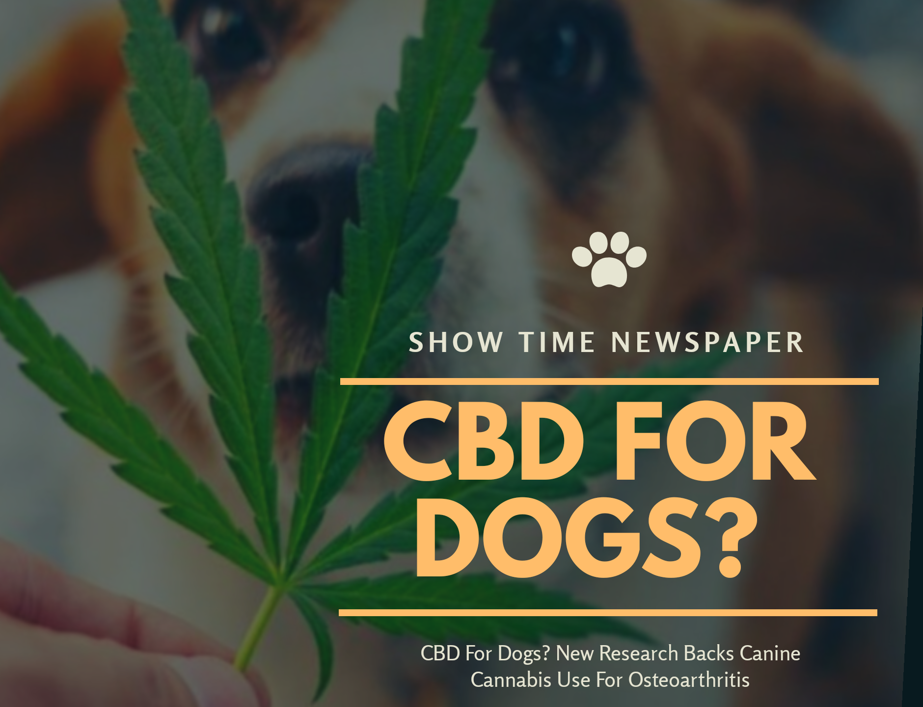 Brett Hartmann gives his dogs Cayley, a six-year-old-Labrador Retriever drops of a cannabis based medicinal tincture to treat hip pain and anxiety. New research supports CBD for canine osteoarthritis.