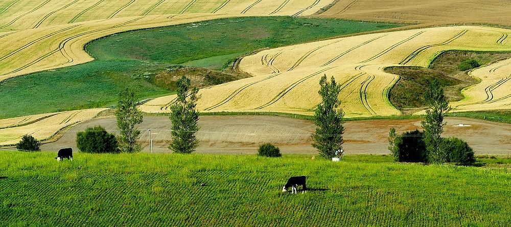vacche pascolano all'aperto in un campo